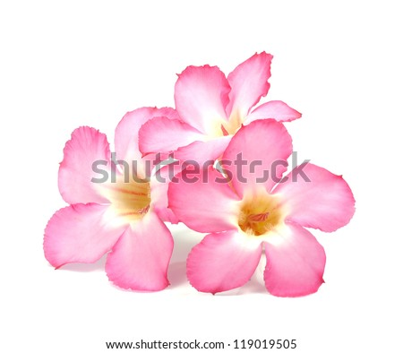 Floral background. Close up of Tropical flower Pink Adenium. Desert rose on isolated white background. - stock photo