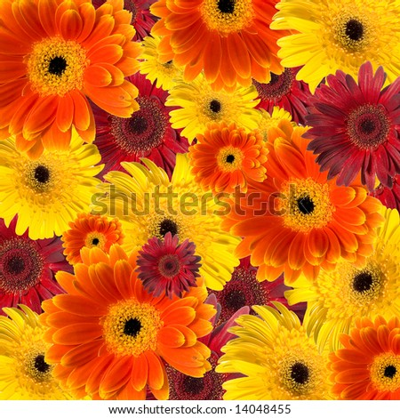 Floral background made of colorful gerberas - stock photo