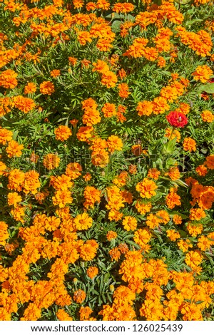 Floral background of blooming marigolds