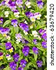 Floral background of blooming purple pansies flowers - stock photo