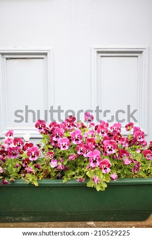 Floral background of blooming purple pansies flowers in the flowerpot - stock photo