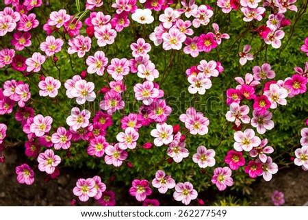 Saxifrage Family Saxifragaceae Stock Photos & Saxifrage Family ...