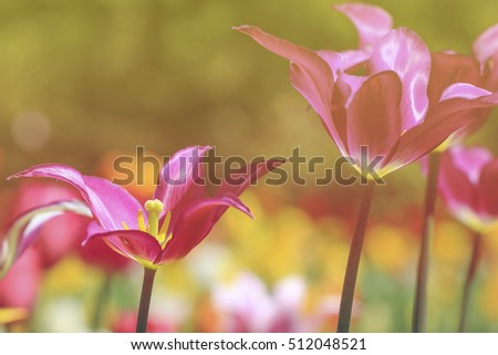 Floral background of tulips. Soft filter.