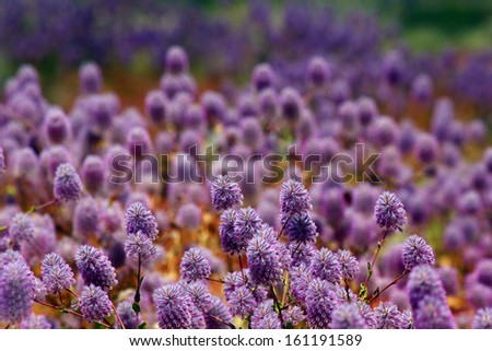 Floral Background of violet - pink flowers , Australian spring Landscape