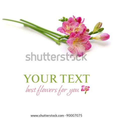 Floral background - spring pink flower isolated on white - stock photo