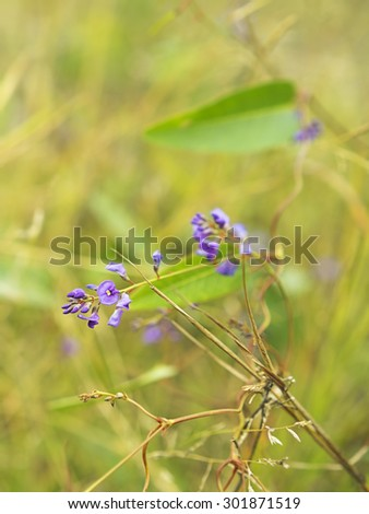 Floral background with purple flower of Australia native Sarsaparilla,winter wildflower Hardenbergia violacea - stock photo