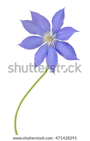Floral branch: clematis blooming isolated