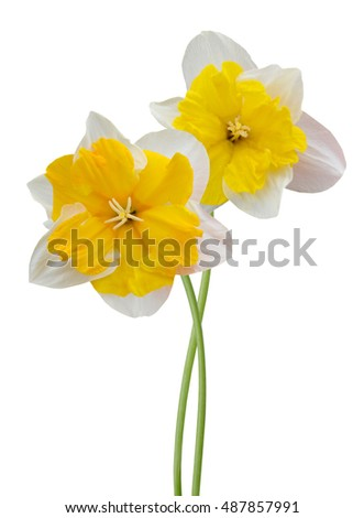 Floral branch: daffodil isolated on a white background