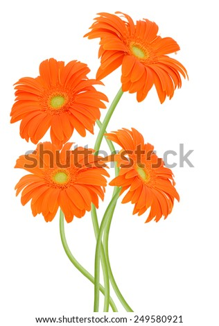 floral branch: Orange gerbers isolated on white background  - stock photo