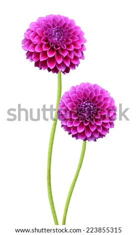 Floral branch: red dahlia flowers  - stock photo