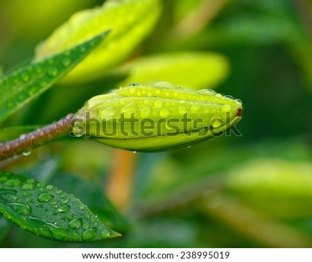 Floral bud of lilium with rain water drops - stock photo