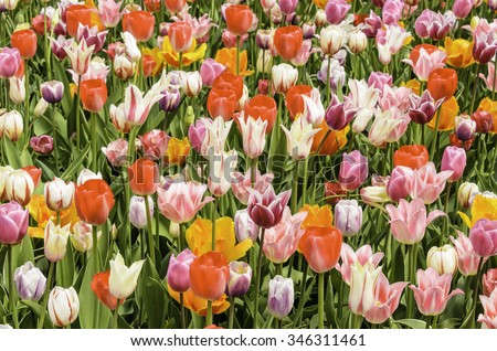 Floral celebration of spring: Profusion of tulips, with raindrops, in full bloom, early May (foreground focus), for decoration and backgrounds with motifs of variety, exuberance, compatibility - stock photo