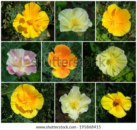 Floral collage. Yellow flowers. Collage of summer flowers.  California golden poppies. - stock photo