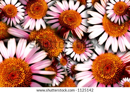 Floral concept image of herbal/medicinal Purple Cone Flowers (Echinacea). - stock photo