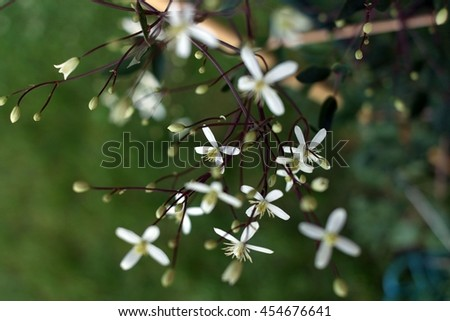 floral, floral pattern - white clematis - stock photo