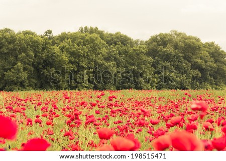 Floral landscape wallpaper with red blooming flowers field in Spring - stock photo