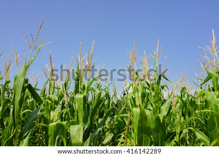 Floral Park, New York - 6 September 2014: Corn field at Queens County Farm Museum.