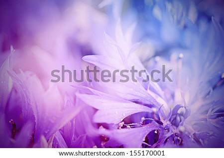 Floral soft tender  background from blue fresh cornflower defocused  macro image - stock photo
