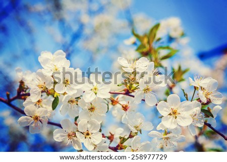 floral spring background white flowers of blossoming cherry tree on blurred sky instagram stile  - stock photo