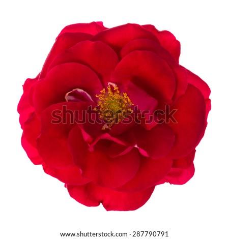 Floribunda red rose isolated on white background. - stock photo