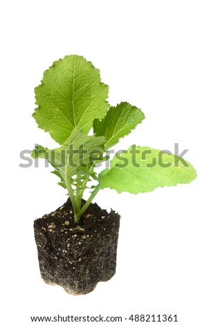 Florida Broadleaf (mustard green) seedling ready for planting into the soil. Isolated on white background
