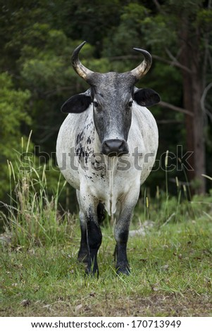 Florida Cracker Cattle. Horned cow standing in a field looking straight at you. - stock photo