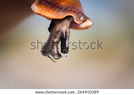 Florida fighting conch close-up with mollusk's body out of shell - stock photo