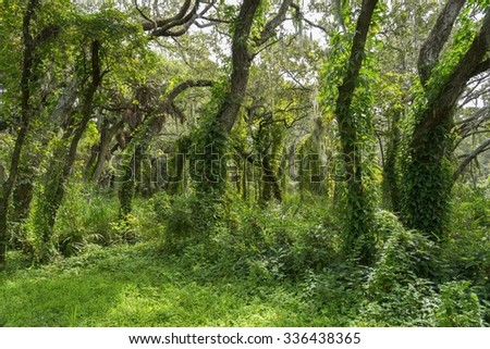 Florida forest with Spanish moss overgrown trees