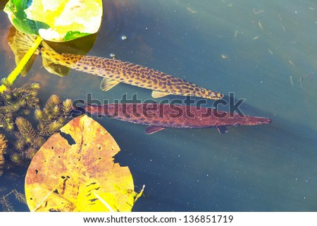 Florida gar underwater - stock photo