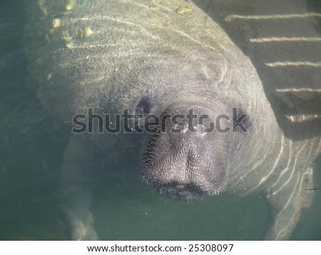 Florida Manatee Closeup - stock photo