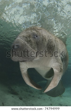 Florida manatee hovers in the spring water of Crystal River, Florida. - stock photo