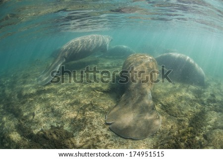 Florida manatees (Trichechus manatus latirostris) aggregate near a freshwater spring in Florida. This species is endangered and is of great conservation concern to the government and the public. - stock photo