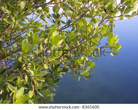 florida mangrove - stock photo