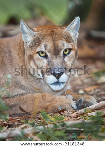 Florida panther staring right into camera - stock photo