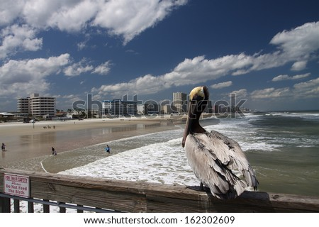 Florida Pelican - stock photo