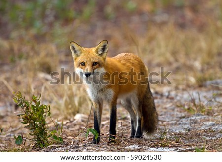 Florida Red Fox - stock photo
