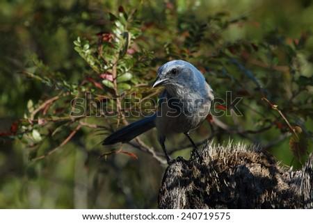 Florida Scrub Jay - stock photo