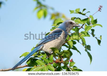 Florida Scrub-Jay, exclusively found only in Florida, United States. - stock photo