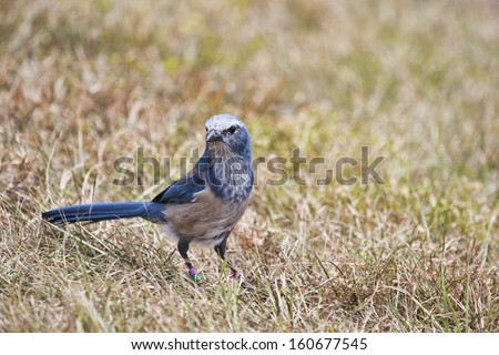 Florida scrub jay forages for food in the rapidly disappearing scrub environment of Central Florida. These birds are found only in a few places in Florida and their habitat is dwindling. - stock photo
