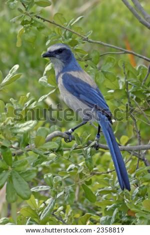 Florida scrub jay in habitat - stock photo