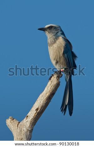 Florida scrub-jay perched on bare tree limb. - stock photo