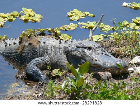 Florida wildlife - very large adult american alligator basking in the sun on a canal bank