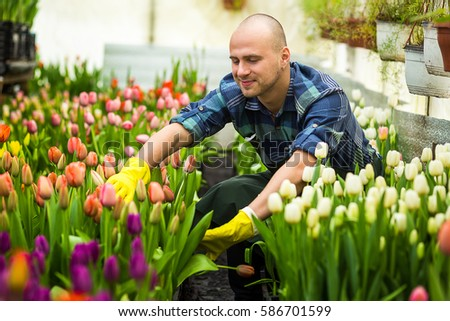 Florists man working with flowers (tulips) in a greenhouse in springtime