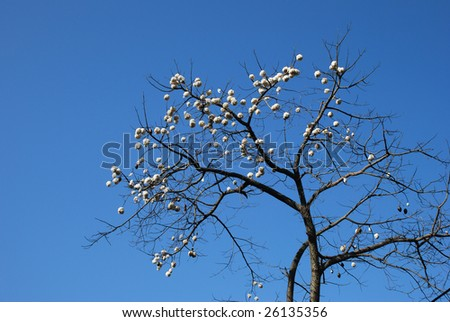 Floss-silk tree with cotton-ball like fruit - stock photo