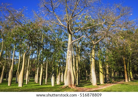 floss silk trees or ceiba speciosa in autumn garden jardines del real viveros of valencia - Silk Trees