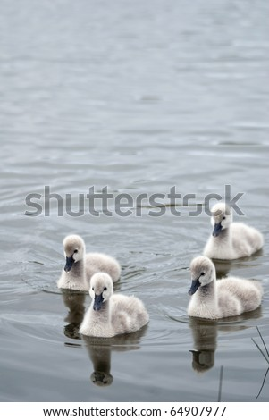 Flotilla of four black swan cygnets - stock photo