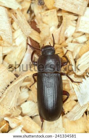 Flour beetle, Tenebrionidae on sawdust - stock photo