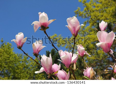 flourishing magnolia tree - stock photo