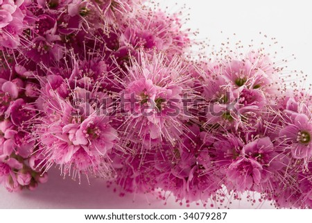 flourishing Spiraea salicifolia, wild flower decoration, macro picture