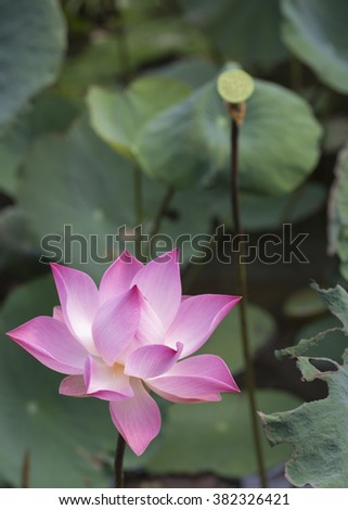 Flower and fruit of the pink Lotus, Nelumbo nucifera, associated with  purity, spiritual awakening and faithfulness in Buddhism.  Flower stems, seeds, rhizomes and petals are all used in food dishes. - stock photo